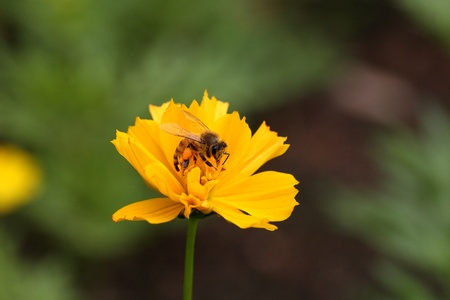 bee on a little yellow flower in green background  photo