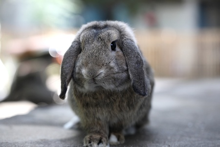 lop: Adorable brown baby holland lop rabbit bunny  Stock Photo