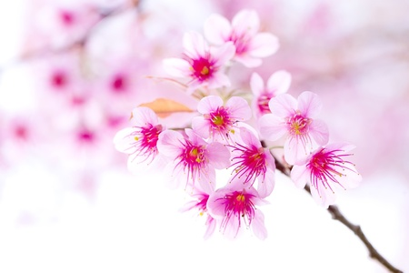 Cherry Blossom , Pink Sakura flower close-up  photo
