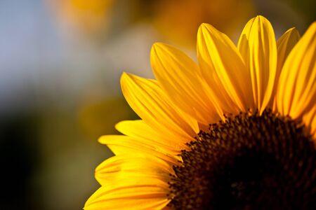 sunflower with sunrise  photo