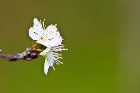flourishing: Cherry Blossom , Pink Sakura flower close-up