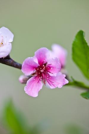 Cherry Blossom , Pink Sakura flower close-up
