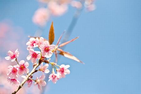 fleur de cerisier: Fleur de cerisier, fleur rose Sakura close-up