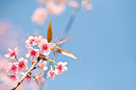 fleur cerisier: Fleur de cerisier, fleur rose Sakura close-up