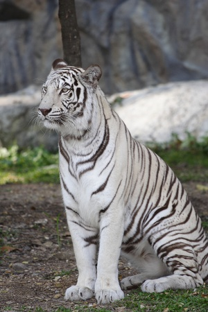 white tiger sitting in an open field.  photo