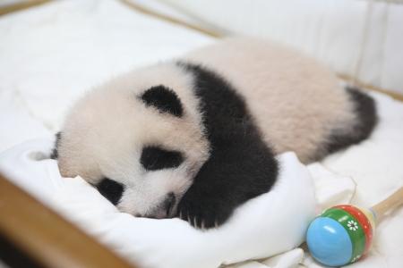 cute animal little baby giant panda in bed lhinping in chiangmai zoo Thailand  photo