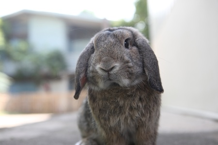 bunny rabbit: adorable holland lop rabbit bunny Stock Photo
