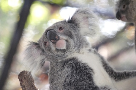 koala on tree Stock Photo - 10119595