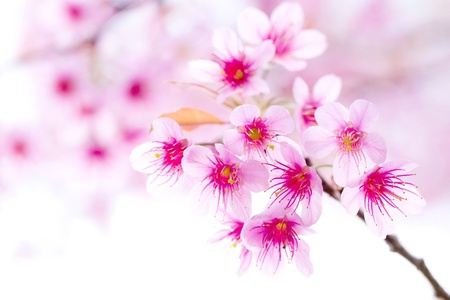 pink flower , sakura photo