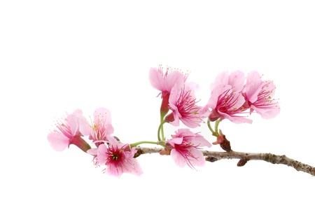flor de sakura: La flor de cerezo, rosa sakura flores aisladas en fondo blanco Foto de archivo