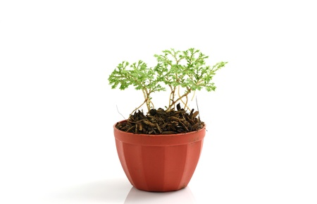 plant isolated in white background Stock Photo - 10624853