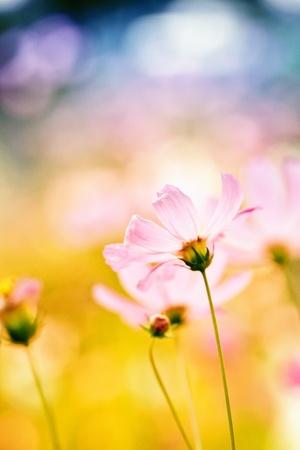 růžový květ kosmu