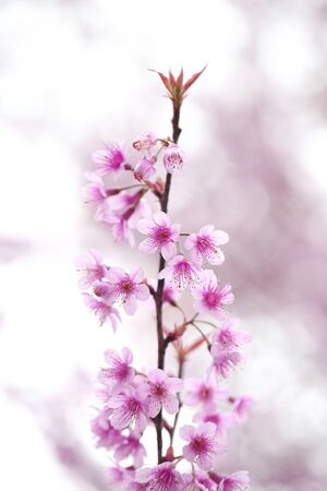 Kirschblüte Lizenzfreie Bilder - 11991527