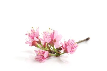 ホワイト バック グラウンドで分離された桜、ピンクの桜の花