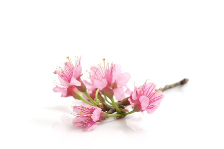 Kirschenblüte, rosa sakura Blumen in weißem Hintergrund