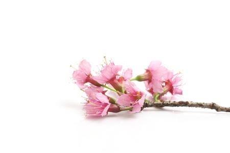 kersenbloesem: Kersenbloesem, roze sakura bloem geïsoleerd op witte achtergrond