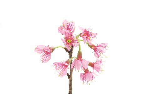 Cherry blossom pink sakura flower isolated in white background cherry blossom pink sakura flower isolated in white background stock photo 12174005 mightylinksfo