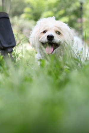 Westie dog on the green grass  photo
