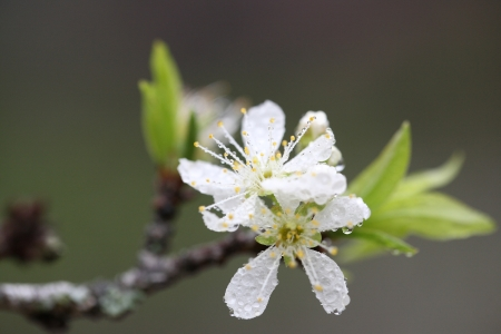 Cherry blossom , white sakura flower  photo