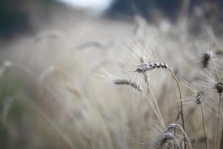 麦畑と青い空 写真素材