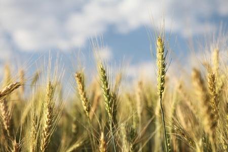 cosecha de trigo: Campo de trigo y cielo azul