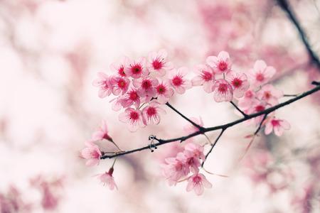 blossom tree: sakura cherry blossom flowers