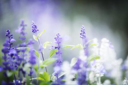 lavender flower photo