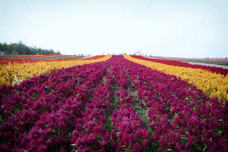 flower garden Colorful Hill at Biei, Hokkaido photo
