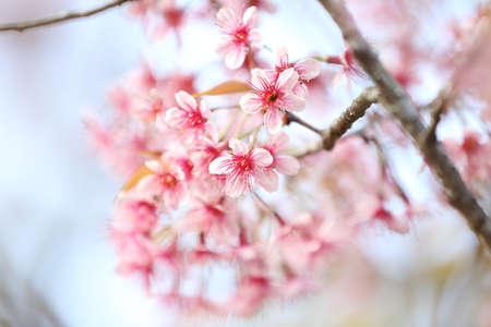 sakura cherry blossom flowers photo