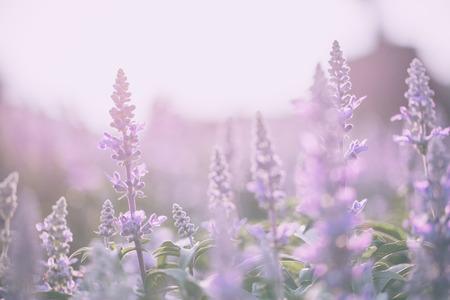 Fleur de lavande Banque d'images - 39256693