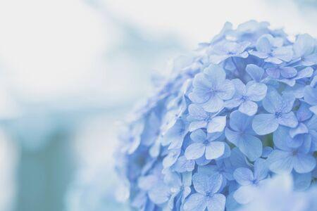 hydrangea flower photo
