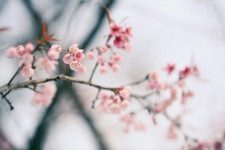 flor de sakura: Flor de cerezo, flor rosa sakura Foto de archivo
