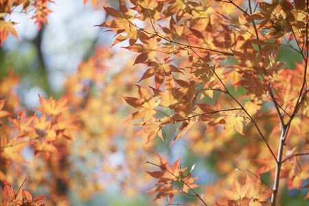 leafs: maples leafs