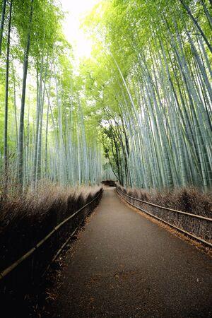 japones bambu: Bosque de bamb�, bamb� japon�s en Kyoto
