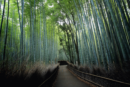 chinese bamboo: Bamboo Forest  , Japanese Bamboo in Kyoto Stock Photo