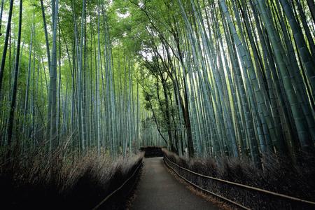 japones bambu: Bosque de bambú, bambú japonés en Kyoto