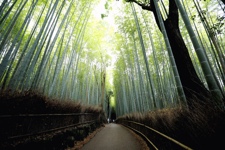 Bamboo Forest , Japanese Bamboo in Kyoto Stock Photo