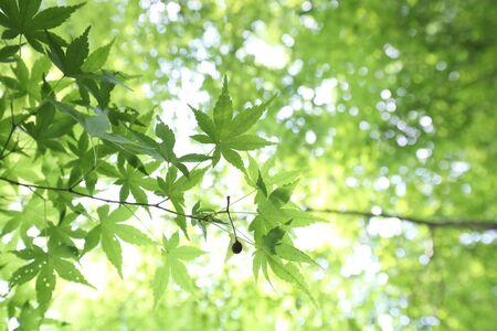 chlorophyll: spring Sugar green Maple leaf leaves background