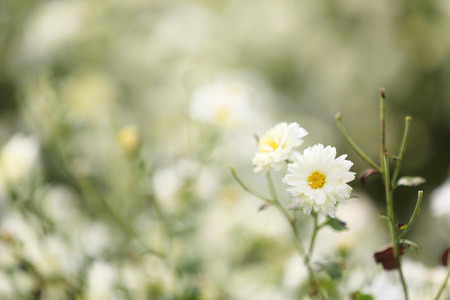 daisys: white daisy flower in nature