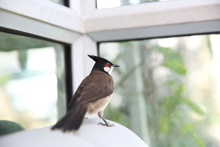 Red whiskered bulbul bird in close up