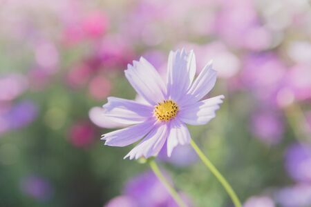 Cosmos flower close up on sunset background with soft selective focus