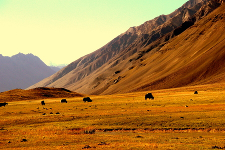 picture taken at spiti valley in himachal pardesh . yak grazing in long field in the center of mountains
