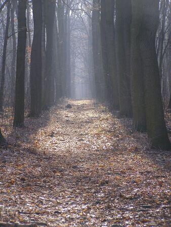 beech: beech alley in early autumn foggy morning