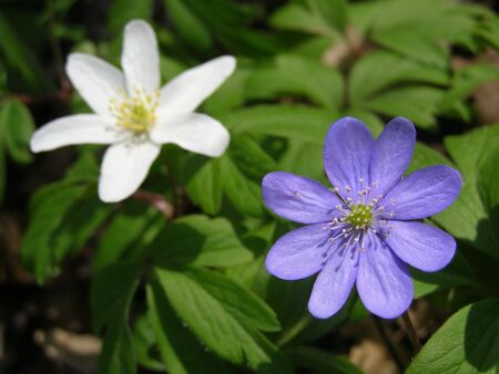 early spring: blue and white wood anemone in early spring Stock Photo