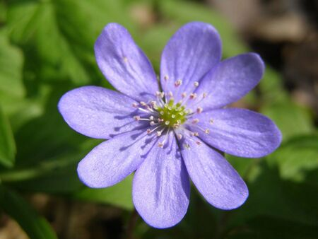 early spring: blue wood anemone in early spring