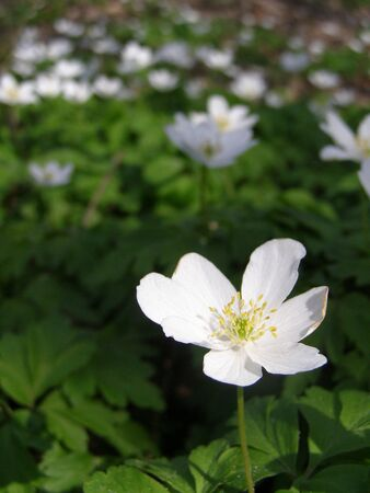 early spring: wood anemone in early spring