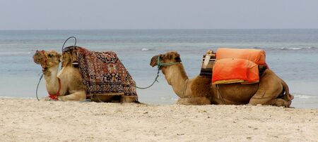 two camels lying on the beach