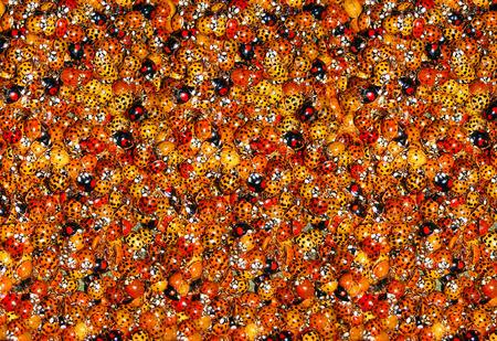 mariquitas: macro fotografía en color de mariquitas nido Foto de archivo