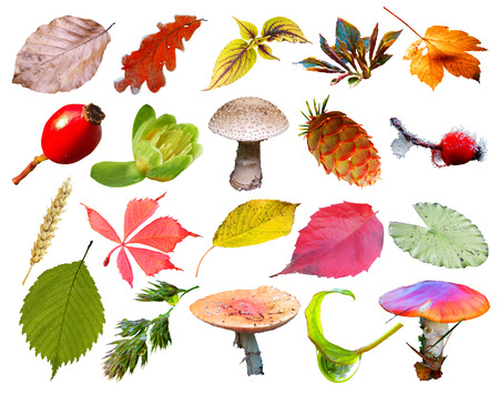 autumn colour: set of leaves and berries isolated on white background Stock Photo