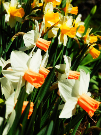 color photography: detail color photography of daffodils